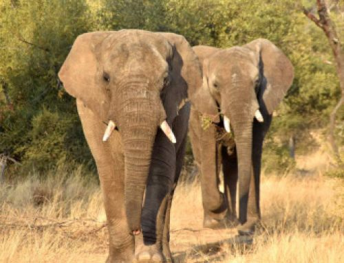 Rumbles on the Savannah: Detecting African elephants